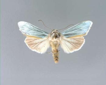 Каптурниця блискуча (Cucullia splendida (Stoll, 1782))