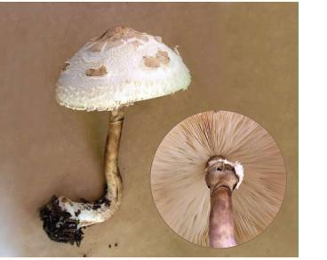 Белошампиньон (гриб-зонтик) девичий (Leucoagaricus nympharum (Kalchbr.) Bon [Macrolepiota puellaris (Fr.) M.M. Moser])