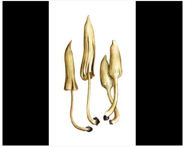 Галеропсис пустынный (Galeropsis desertorum Velen. et Dvor)
