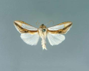Капюшонница серебристая (Cucullia argentina (Fabricius, 1787))
