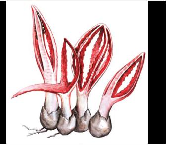 Цветохвостник веретеновидный (Pseudocolus fusiformis (E. Fischer) Lloyd [Anthurus javanicus (Penz.) Cunn.])