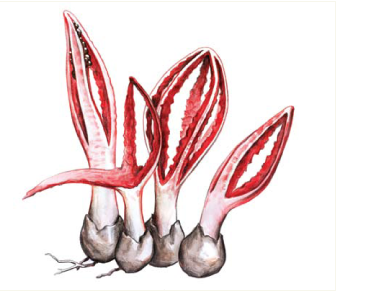 Pseudocolus fusiformis (E. Fischer) Lloyd [Anthurus javanicus (Penz.) Cunn.]