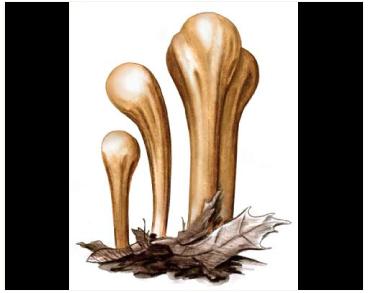 Рогатик пестиковый (Clavariadelphus pistillaris (L.) Donk (Clavaria pistillaris Fr.))
