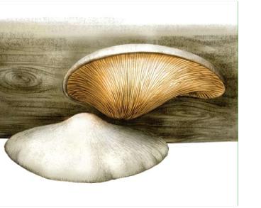 Crepidotus macedonicus Pilát