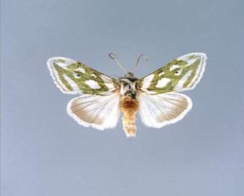 Каптурниця срібна cucullia argentea hufnagel 1766