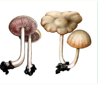 Ентолома смердюча, рожевопластинник смердючий (Entoloma nidorosum (Fr.) Quél. [Rhodophyllus nidorosum (Fr.) Quél., R. speculum, Lange])