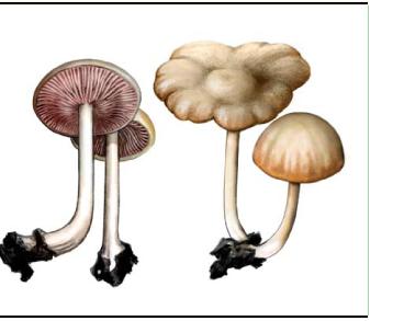Entoloma nidorosum (Fr.) Quél. [Rhodophyllus nidorosum (Fr.) Quél., R. speculum, Lange]