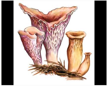 Gomphus clavatus (Pers: Fr.) Gray [Cantharellus clavatus Fr., Craterellus clavatus (Pers.) Fr., Neurophyllum clavatum Pat.]