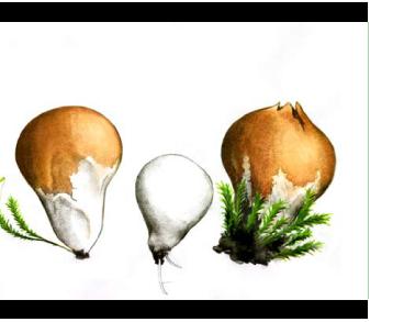 Бовиста болотная (Bovista paludosa Lév. [Bovistella paludosa (Lév.) Lloyd])