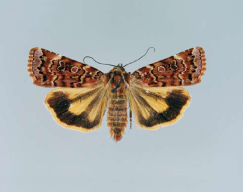 Совка Хайварда (Divaena haywardi (Tams, 1926))