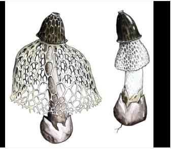 Диктиофора сдвоенная (Phallus duplicatus Bosc [Dictyophora duplicata (Bosc) E. Fisch.])