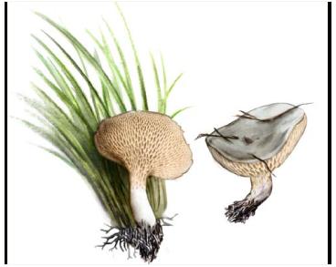 Polyporus rhizophilus (Pat.) Sacc. (Polyporellus rhizophilus Pil., Melanopus rhizophilus Pat.)