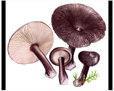 Lactarius lignyotus Fr.