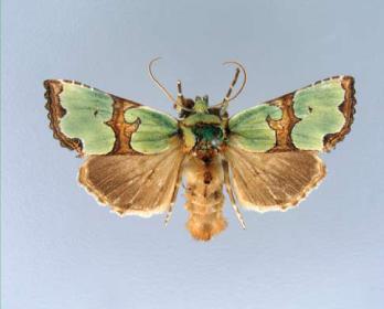 Совка роскошная (Staurophora celsia (Linnaeus, 1758))