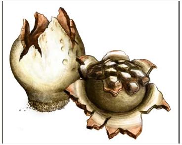 Scleroderma geaster Fr. [Lycoperdon polyrhizon Gmel., Scleroderma polyrhizon (Gmel.) Pers., Sclerangium polyrhizon (Gmel.) Lév., Stella americana Massee]