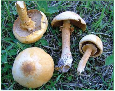 Феолепиота золотистая (Phaeolepiota aurea (Matt.) Maire [Pholiota aurea (Matt.) Pers.])