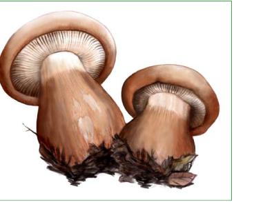 Рядовка огромная (Tricholoma colossus (Fr.) Quel. [Armillaria colossa (Fr.) Boud.])