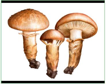 Рядовка опенковидная (Tricholoma focale (Fr.) Ricken [Armillaria focalis (Fr.) P. Karst.])