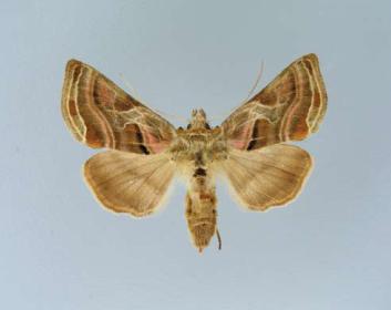 Металловидка разноцветная (Euchalcia variabilis  (Piller & Mitterpacher, 1783))