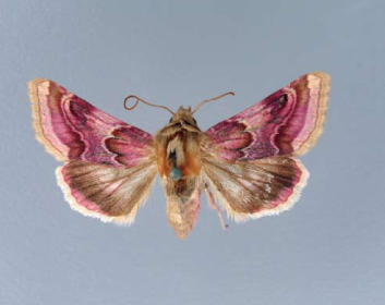 Совка сокиркова (Periphanes delphinii (Linnaeus, 1758))