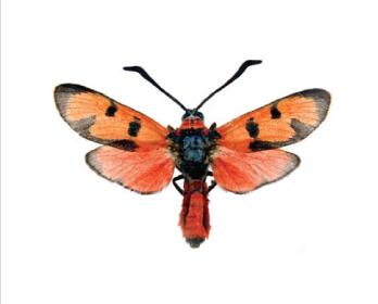 Пестрянка лета (Zygaena laeta (Hübner, 1790))