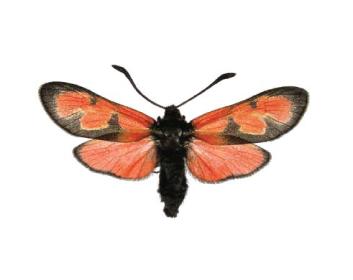 Красик(Пістрянка) понтійський (Zygaena sedi (Fabricius, 1787))