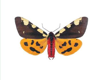 Ведмедиця велика (Pericallia matronula (Linnaeus, 1758))