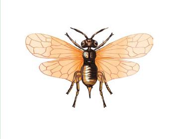 Плероневра хвойна (Pleroneura coniferarum (Hartig, 1837))