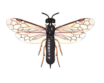 Бластикотома папоротева (Blasticotoma fliceti Klug, 1834)