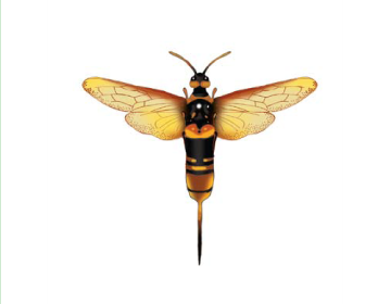 Рогохвіст-авгур (Urocerus augur (Klug, 1803))