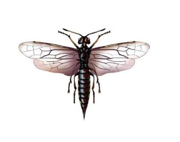Ксифидрия пестрая (Xiphydria picta Konow,1897)