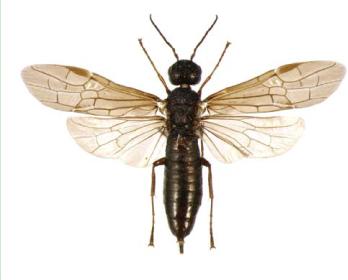 Ксифидрия Маркевича (Xiphydria markewitshi Ermolenko, 1960)
