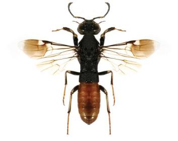 Орусус паразитичний (Orussus abietinus (Scopoli, 1763))