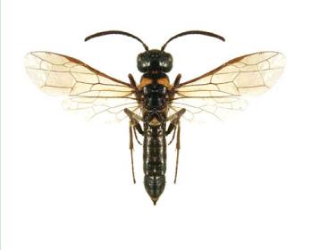 Пахіцефус степовий (Pachycephus cruentatus (Eversmann, 1847))
