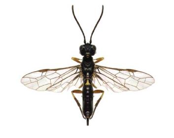 Янус червононогий (Janus femoratus (Curtis, 1830))