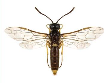 Харакопиг скифский (Characopygus scythicus Dovnar-Zapolskij, 1931)