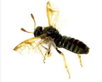 Абія блискуча (Abia nitens (Linnaeus, 1758))
