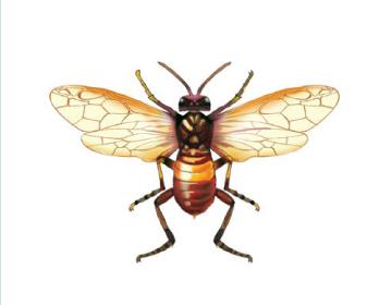 Сіобла бальзамінова (Siobla sturmi (Klug, 1817))