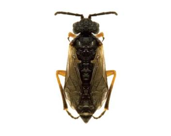 Долерус короткокрилий (Dolerus subalatus Kerensky, 1926)