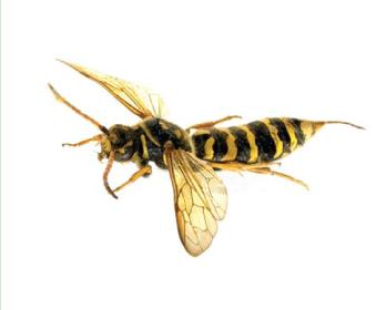Сапіга-полохрум (Polochrum repandum Spinola, 1805)