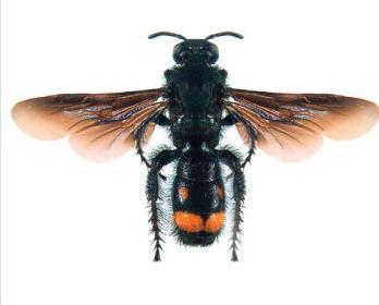 Сколия однополосая (Scolia galbula (Pallas, 1771))