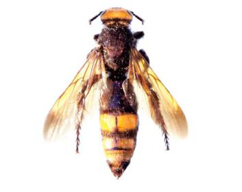 Кольпа Клюге (кампсосколія жовтоволоса) (Colpa klugii (Vander Linden, 1827))