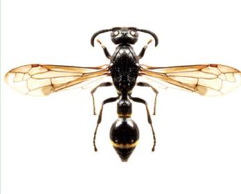 Дисцелия зональная (Discoelius zonalis (Panzer, 1801))