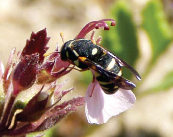 Целонитес абревиатус крымский (Celonites abbreviatus tauricus Kostylev, 1935)