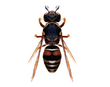 Оніхоптерохеілюс Палласа (Onychopterocheilus pallasii (Klug, 1805))