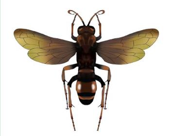 Криптохіл червонуватий (Cryptocheilus rubellus (Eversmann 1846))