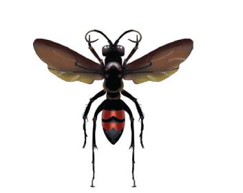 Аноплій самарський (Anoplius samariensis (Pallas, 1771))