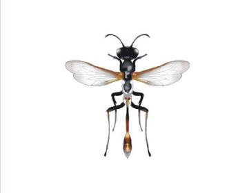 Аммофила сарептская (Ammophila sareptana Kohl, 1884)