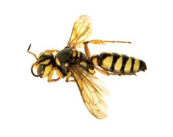 Церцеріс горбкувата (Cerceris tuberculata (Villers, 1787))