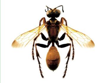 Сфекс жовтокрилий (Sphex favipennis Fabricius, 1793)